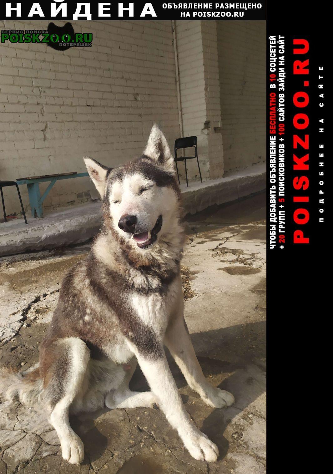 Найдена собака кобель хаски Липецк
