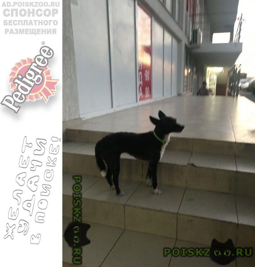 Найдена собака г.Геленджик