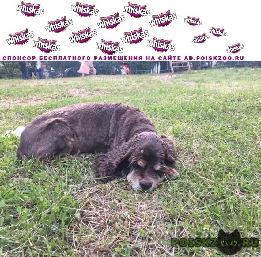 Найдена собака американский кокер, сука не молодая г.Красногорск
