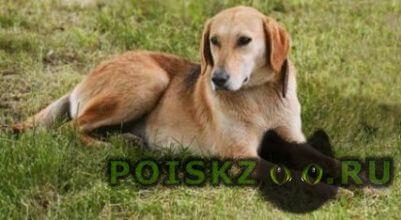 Найдена собака похожа на породу русская гончая г.Ярославль