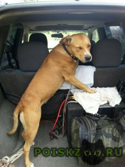 Найдена собака стаффорд или метис г.Нижний Новгород