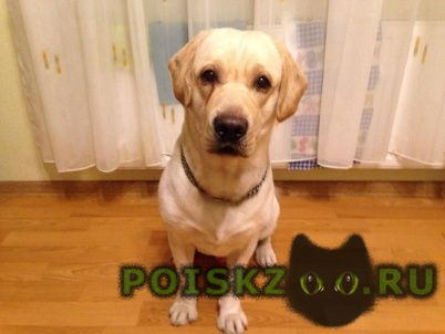 Найдена собака кобель лабрадор палевый г.Калининград (Кенигсберг)