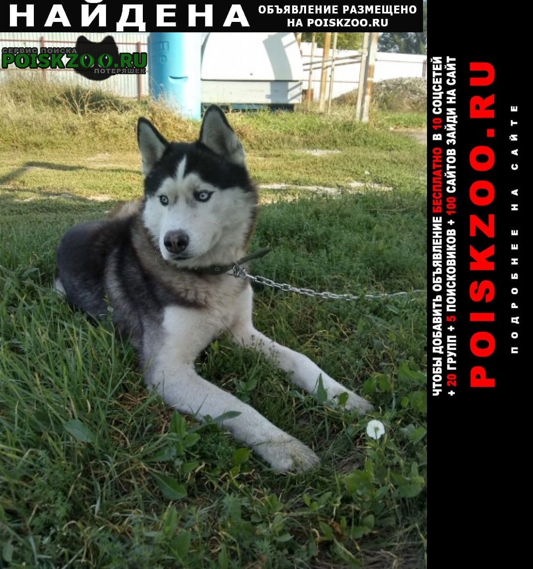 Найдена собака хаски кобель Краснодар