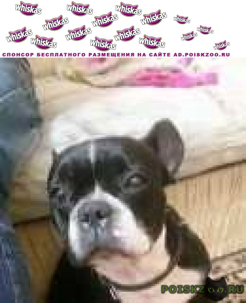 Найдена собака кобель французский бульдог г.Новосибирск