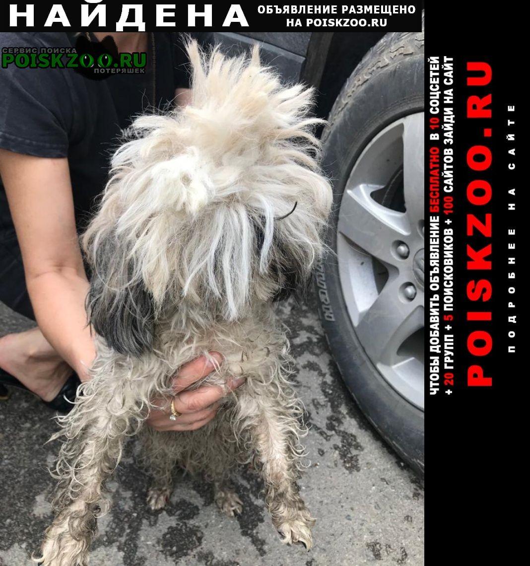 Найдена собака ши тцу Волгоград