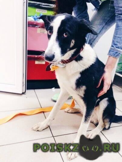 Найдена собака метис бордер колли г.Москва