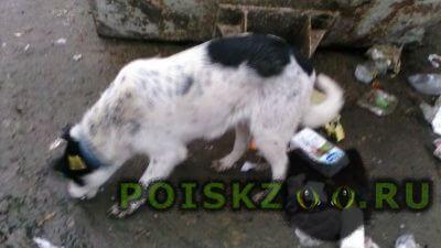Найдена собака черно-белая с ошейником и чипом г.Калининград (Кенигсберг)