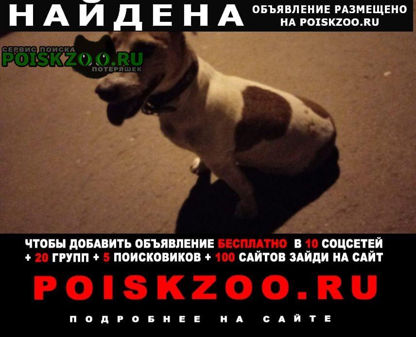 Найдена собака краснознаменная 133, девочка джек рассел Воронеж