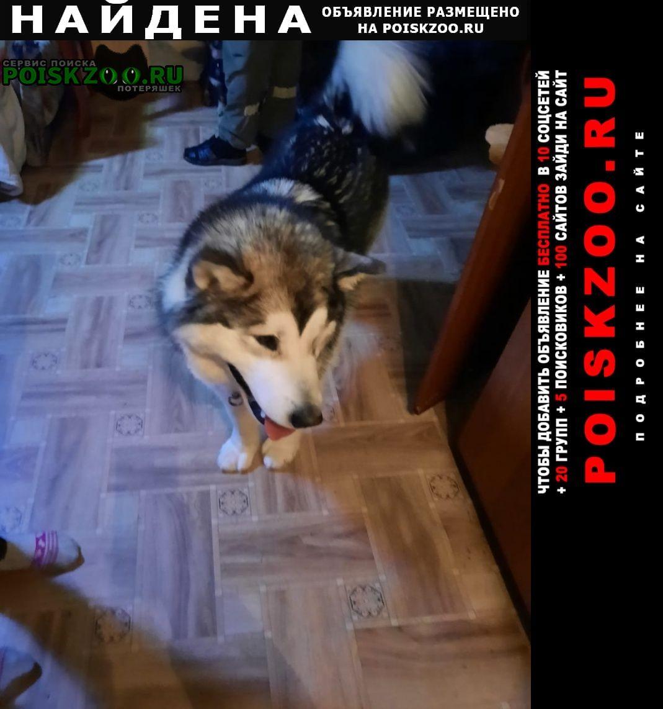 Найдена собака лайка Хабаровск