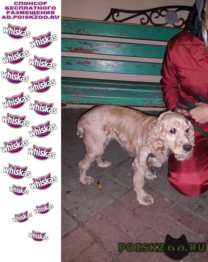 Найдена собака американский кокер спаниель г.Белгород