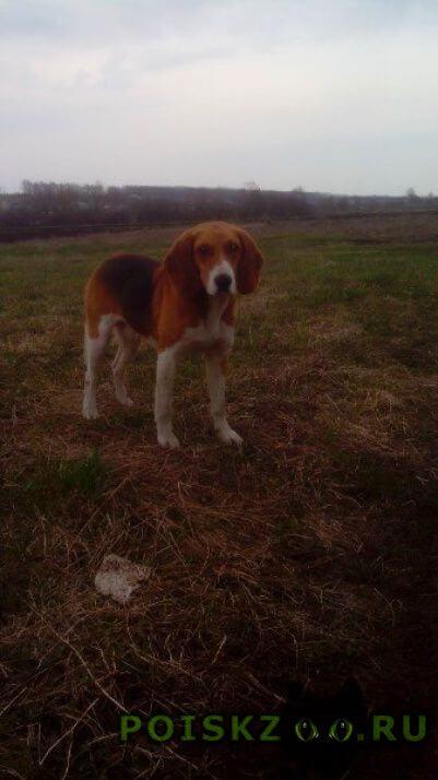 Найдена собака бигль? г.Ивня