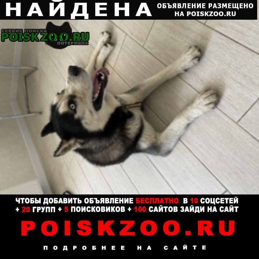 Краснодар Найдена собака хаски