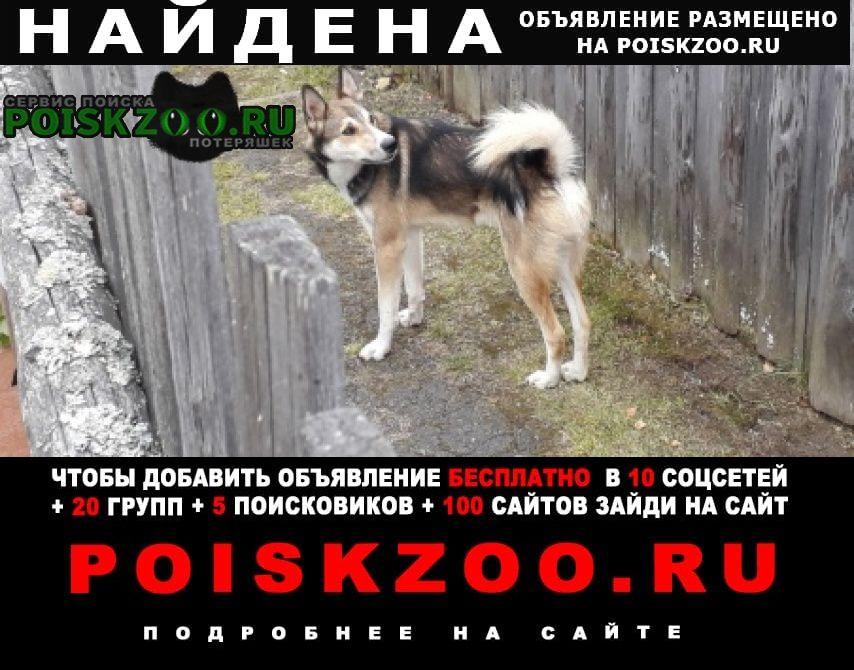 Найдена собака кобель лайка. Невьянск