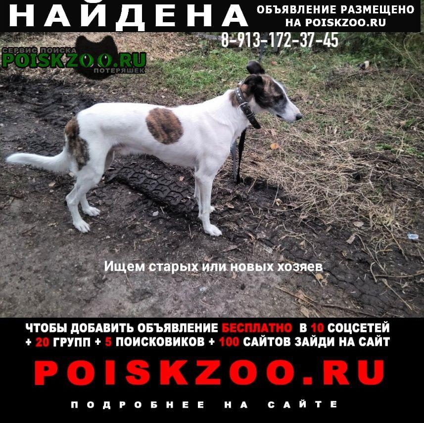 Найдена собака борзой или грейхаунд Зеленогорск (Красноярский край)