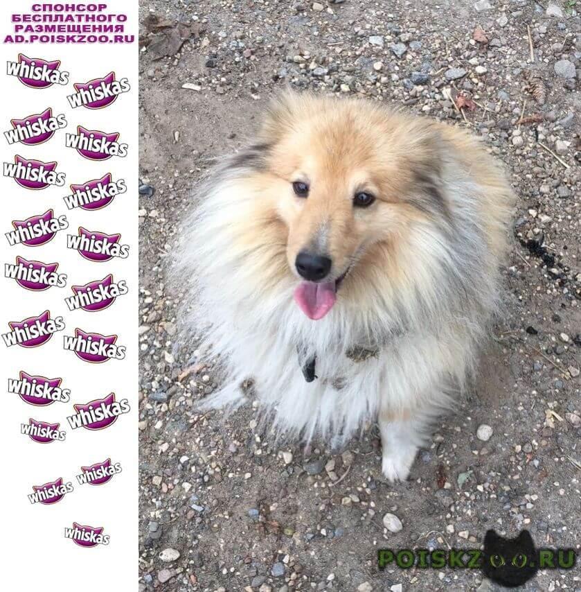 Найдена собака кобель село братовщина карликовый колли г.Пушкино