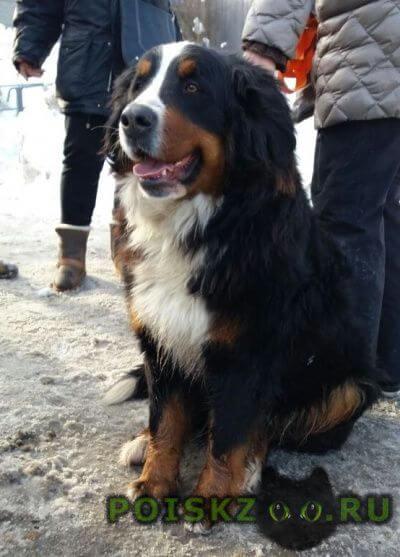 Найдена собака сука бернского зенненхунда г.Вороново