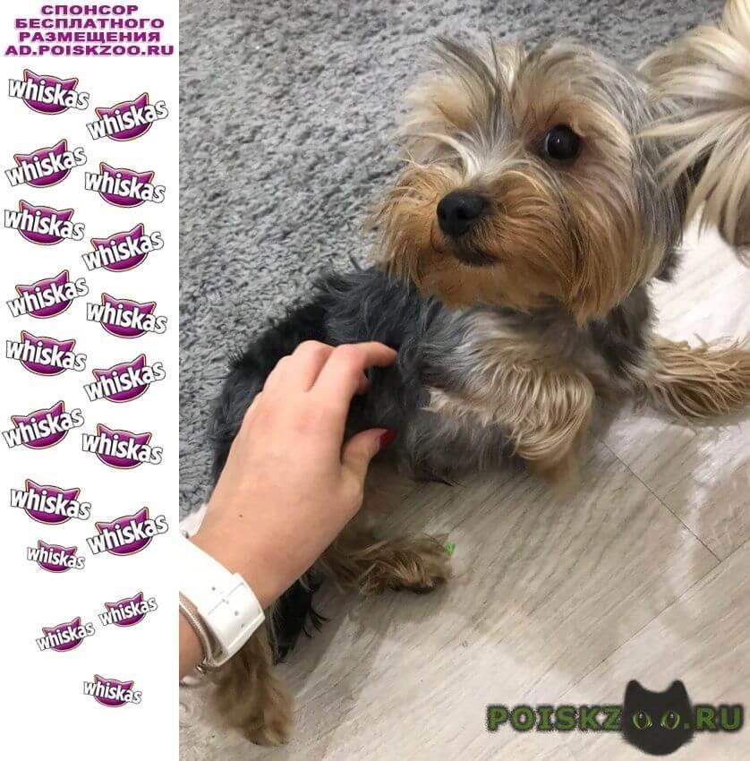 Найдена собака кобель йорк, мальчик г.Пермь