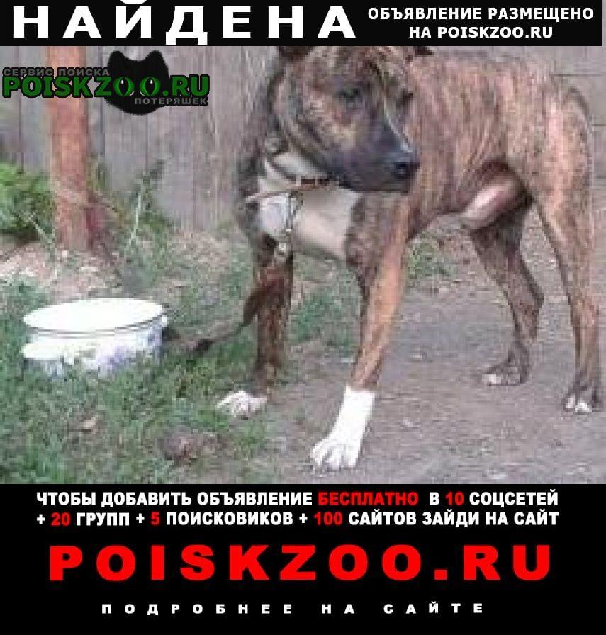 Найдена собака кобель стаф. Копейск