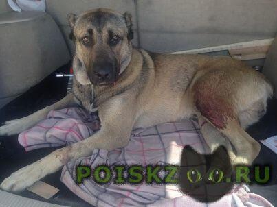 Найдена собака кобель туркменский алабай г.Балашиха