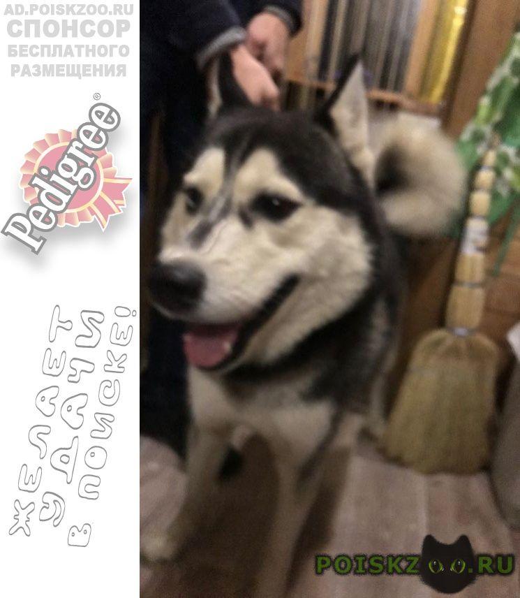 Найдена собака кобель хаски г.Воскресенск