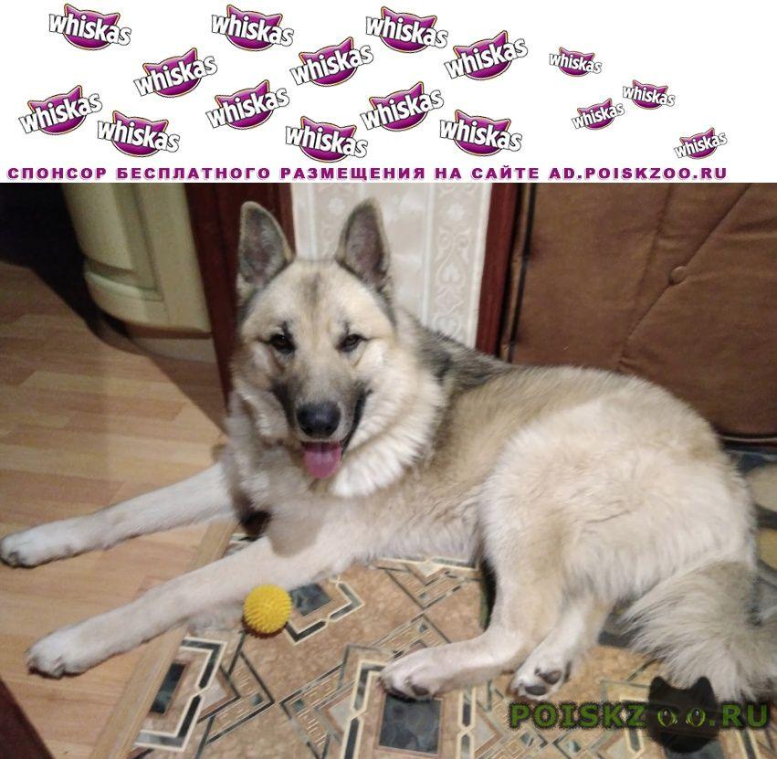 Найдена собака кобель г.Кострома