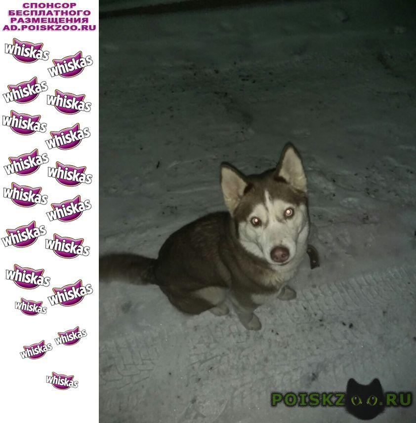 Найдена собака хаска г.Солнечногорск