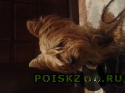Найдена собака кобель иоркширский терьер г.Ангарск