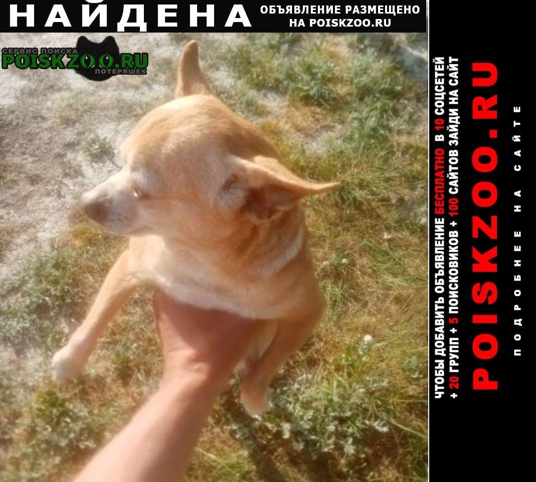 Найдена собака чихуахуа Феодосия