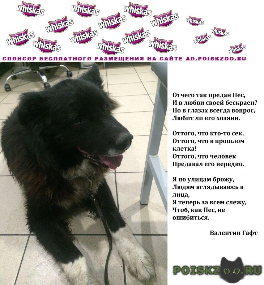 Найдена собака метис кавказской овчарки г.Долгопрудный