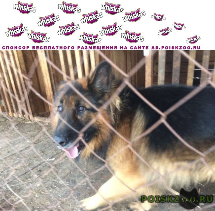 Найдена собака кобель на улице онгудайской г.Горно-Алтайск