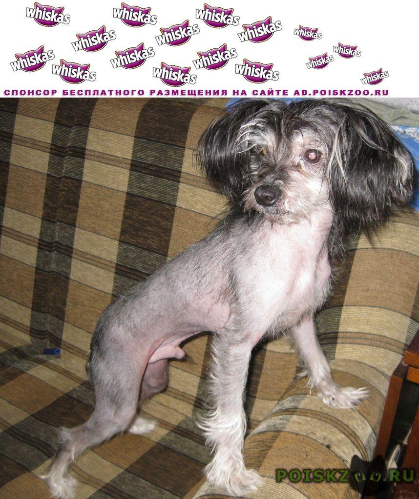 Найдена собака кобель китайская хохлатая г.Пушкино