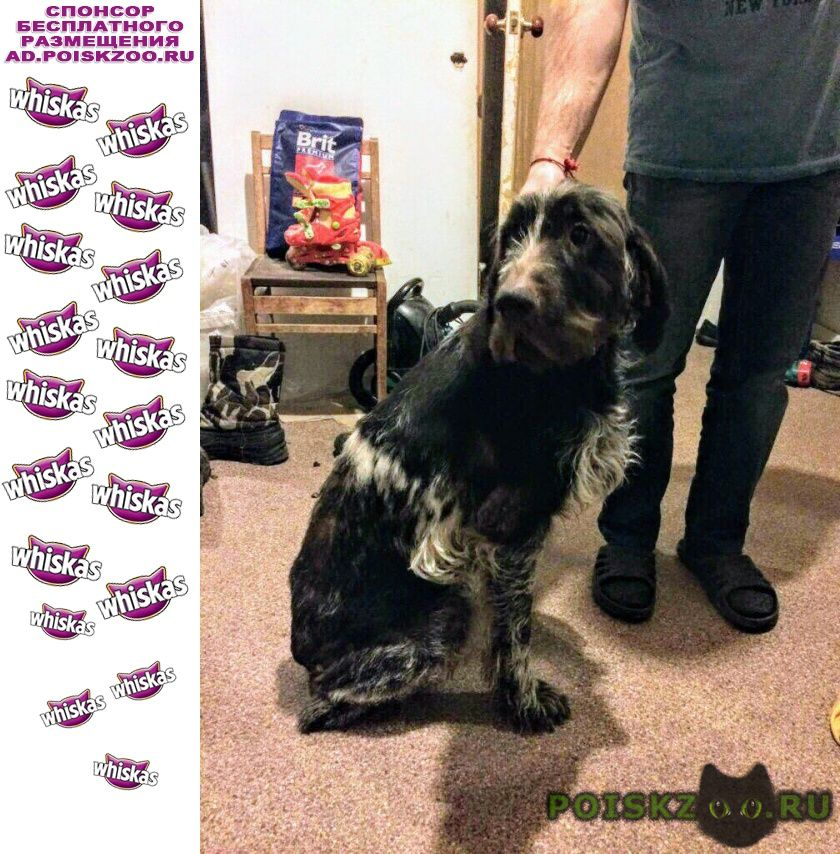 Найдена собака кобель дратхаара г.Балашиха