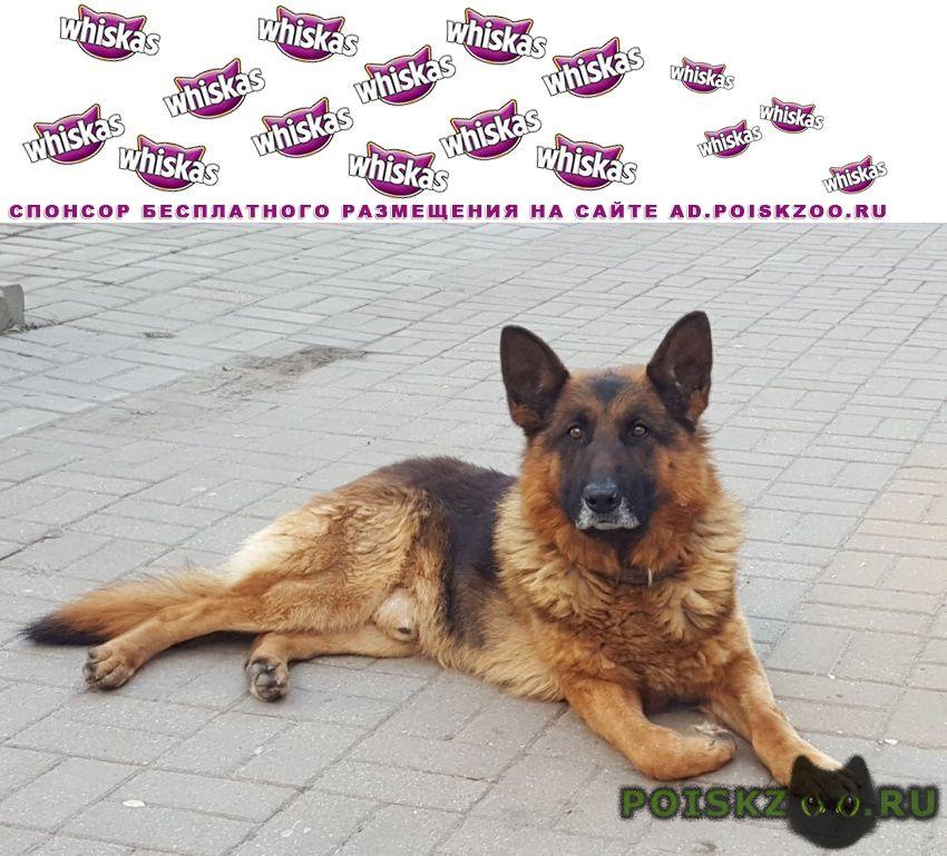 Найдена собака кобель немецкая овчарка, взрослый г.Белгород