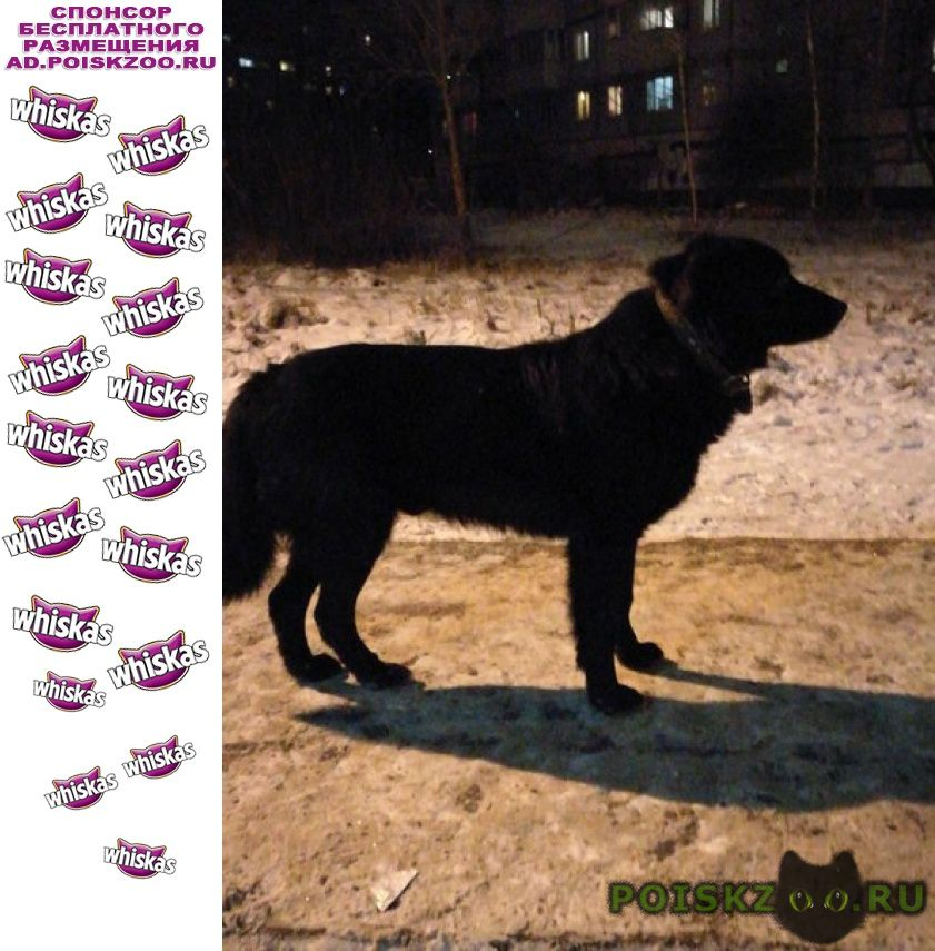 Найдена собака черный пес г.Нарофоминск