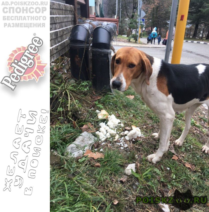 Найдена собака красная поляна ищем старых хозяев г.Адлер