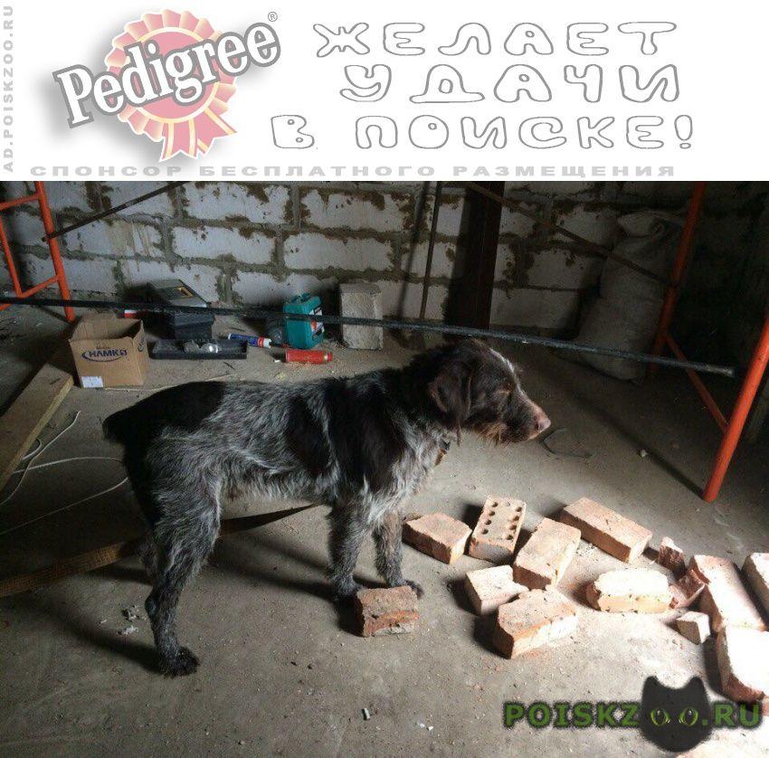 Найдена собака кобель дратхаара г.Мичуринск