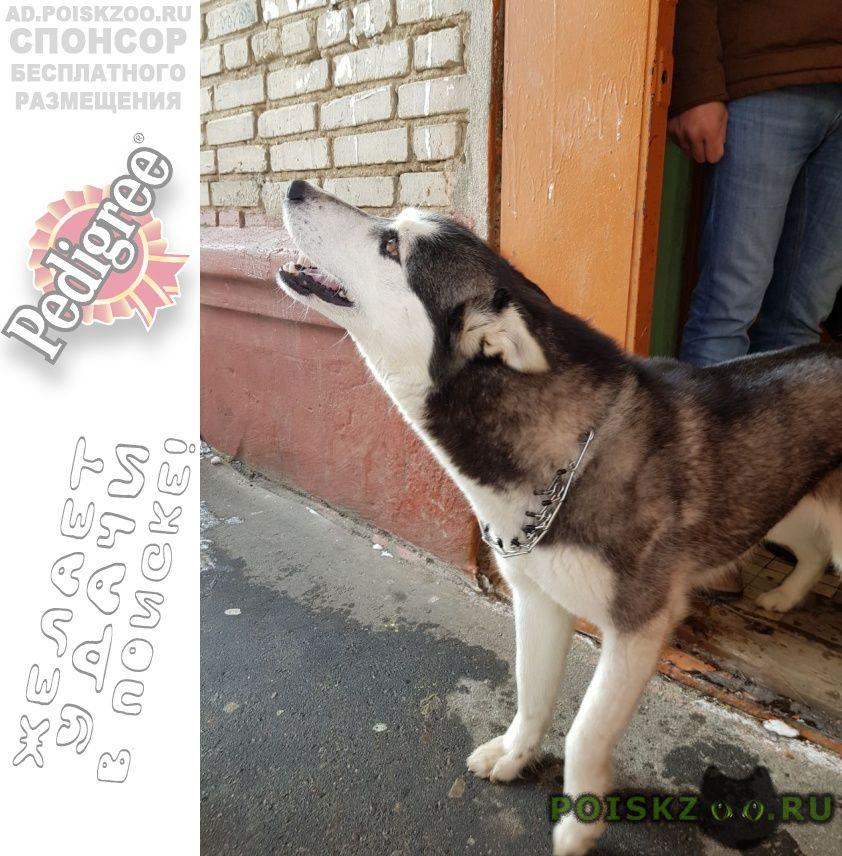 Найдена собака хаски г.Ивантеевка (Московская обл.)