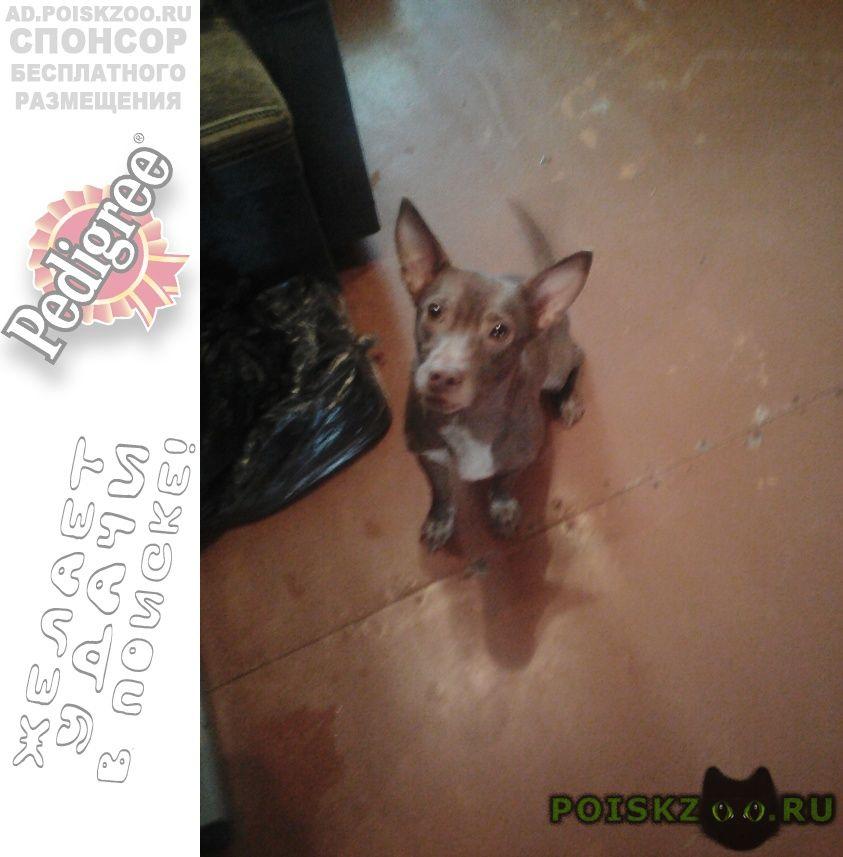 Найдена собака, 19 февраля, похожа на пинчера г.Пермь