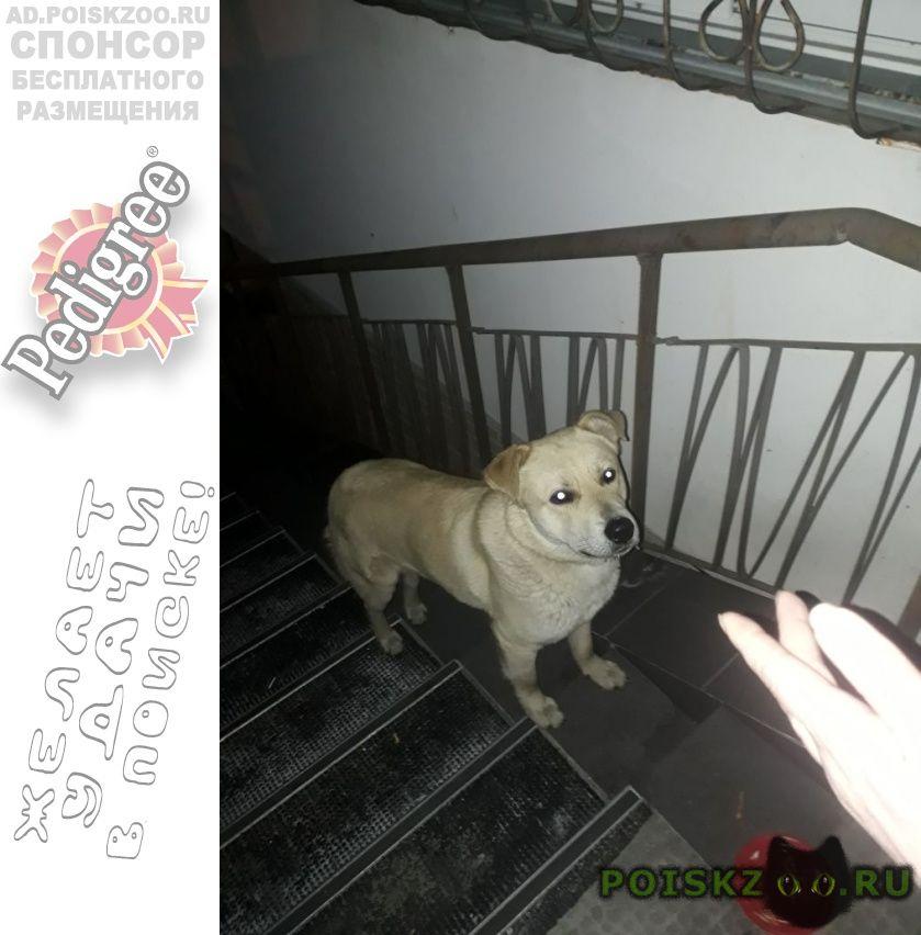 Найдена собака кобель лабрадора в е г.Хабаровск