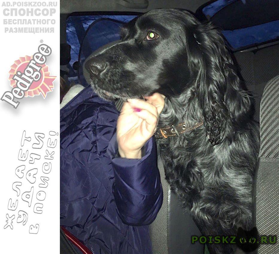 Дрезна Найдена собака кобель 16.03 спаниель ликино-дулево