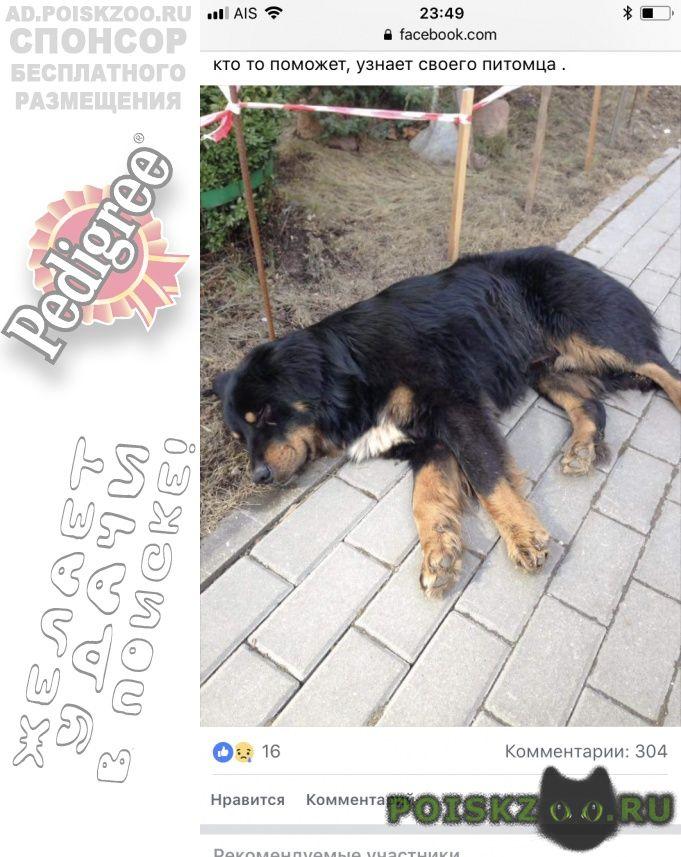 Найдена собака кобель куркино зенненхунд г.Москва