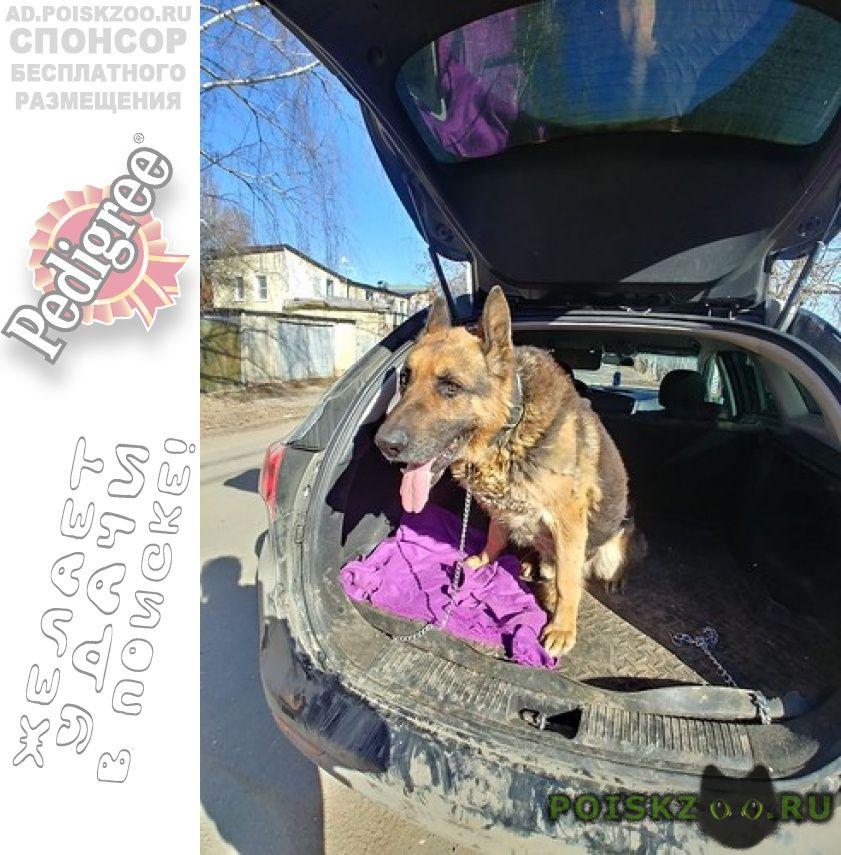 Найдена собака кобель немецкой овчарки г.Домодедово