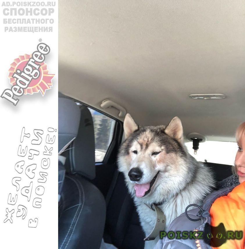 Найдена собака кобель аляскинский маламут г.Казань