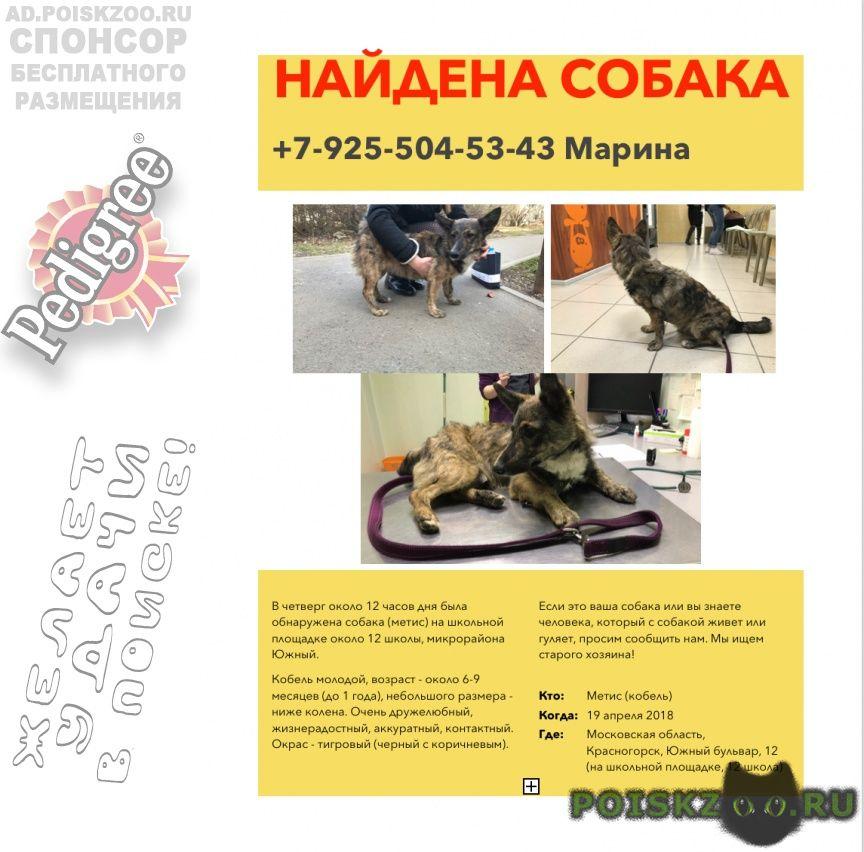Найдена собака кобель (метис) г.Красногорск
