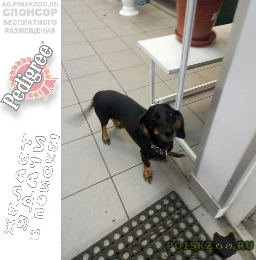 Найдена собака нашлась такса г.Москва