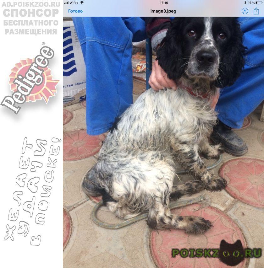 Найдена собака кобель русский охотничий спаниель мальчик г.Минеральные Воды