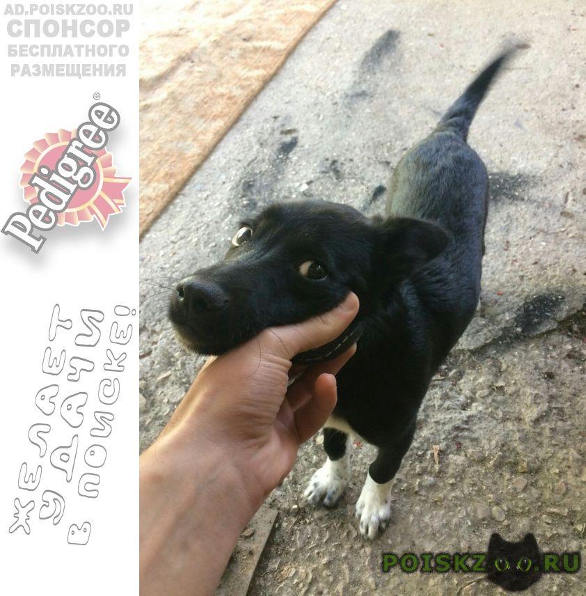 Найдена собака щенок-девочка в ошейнике г.Севастополь