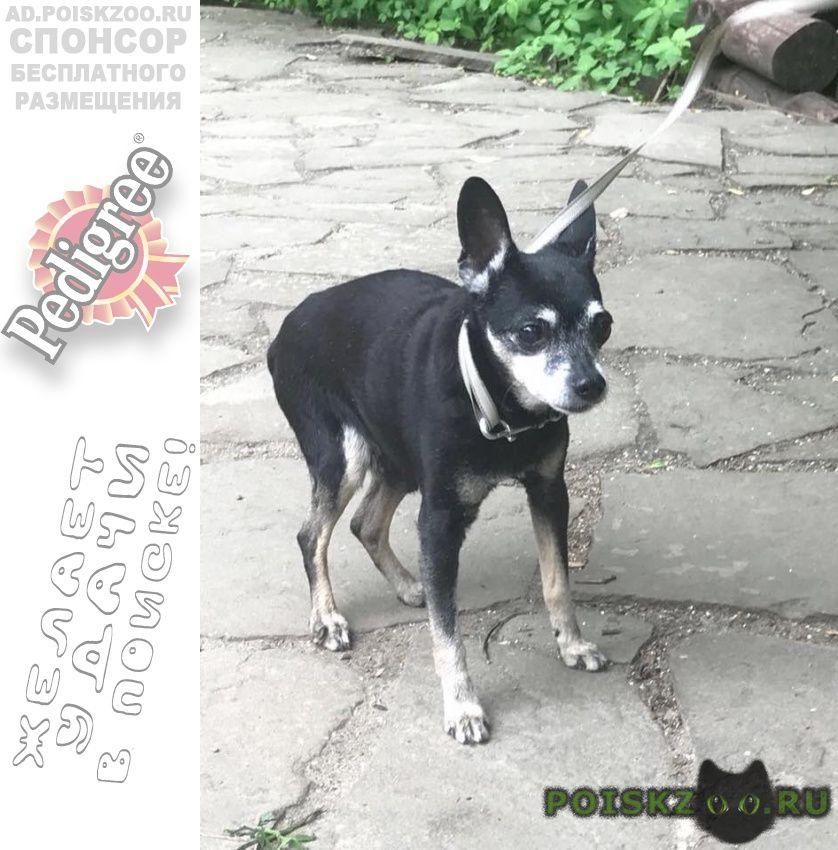 Найдена собака кобель тойтерьер в покровском стрешнево г.Москва