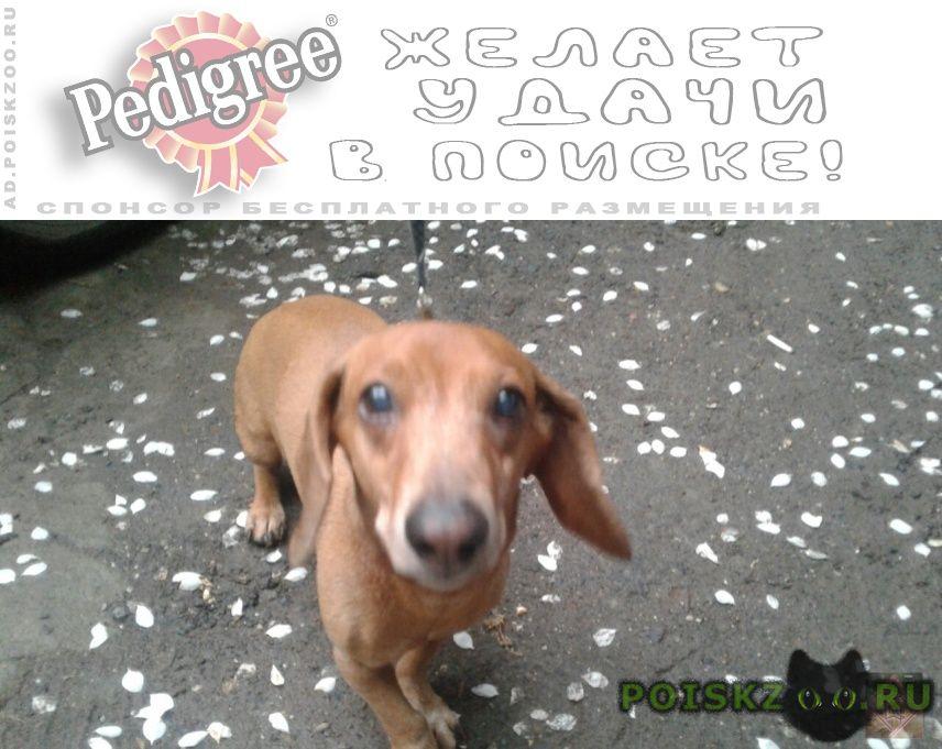 Найдена собака кобель рыжий таксы г.Пермь