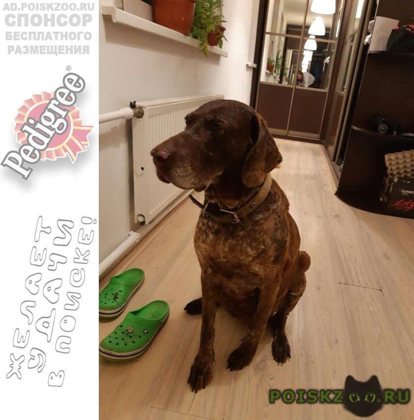 Найдена собака возрастная сука курцхаара в птичном г.Троицк